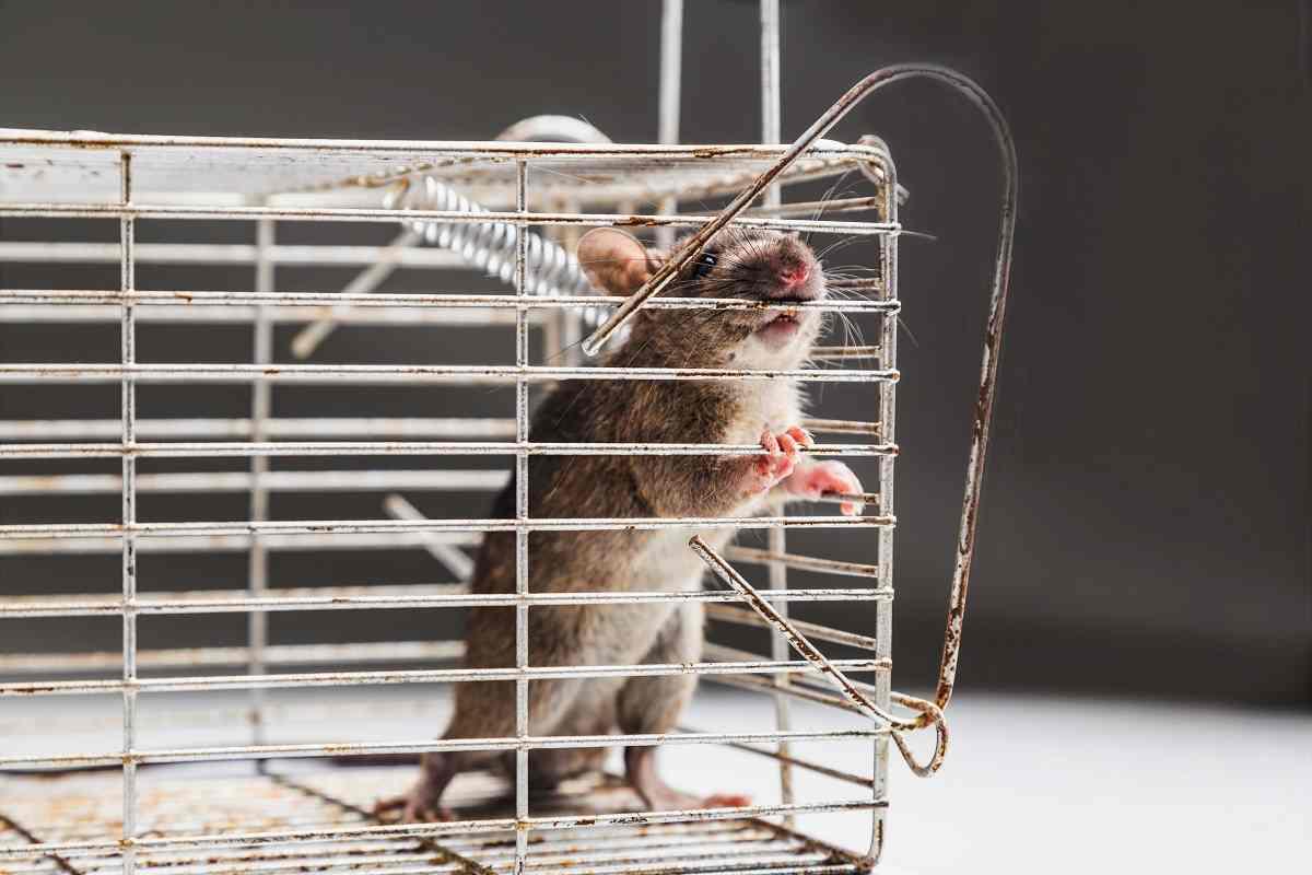 ¿Cómo detectar ratas?